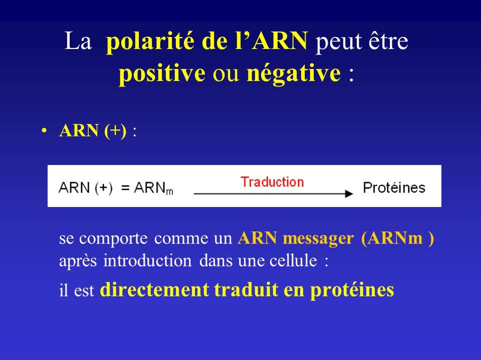 La polarité de lARN peut être positive ou négative : ARN (+) : se comporte comme un ARN messager (ARNm ) après introduction dans une cellule : il est