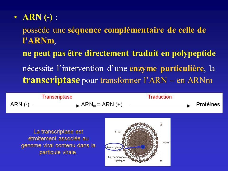 ARN (-) : possède une séquence complémentaire de celle de lARNm, ne peut pas être directement traduit en polypeptide nécessite lintervention dune enzy