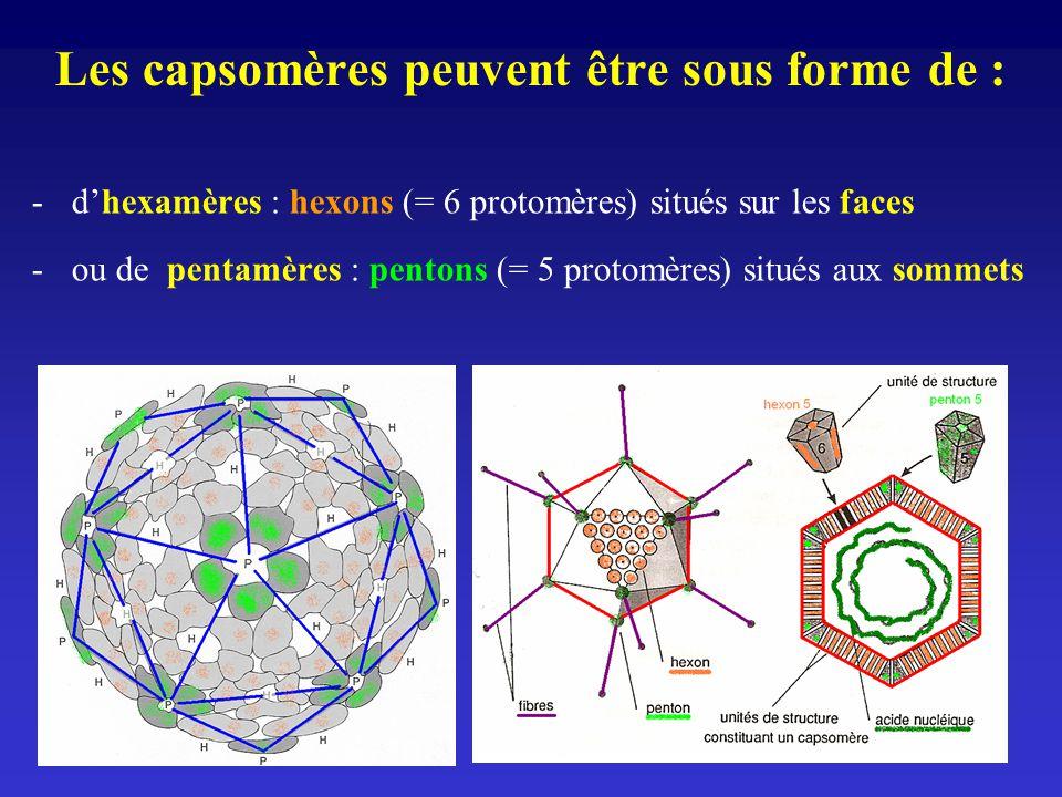 Les capsomères peuvent être sous forme de : -dhexamères : hexons (= 6 protomères) situés sur les faces -ou de pentamères : pentons (= 5 protomères) si