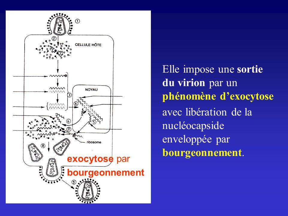 Elle impose une sortie du virion par un phénomène dexocytose avec libération de la nucléocapside enveloppée par bourgeonnement. exocytose par bourgeon