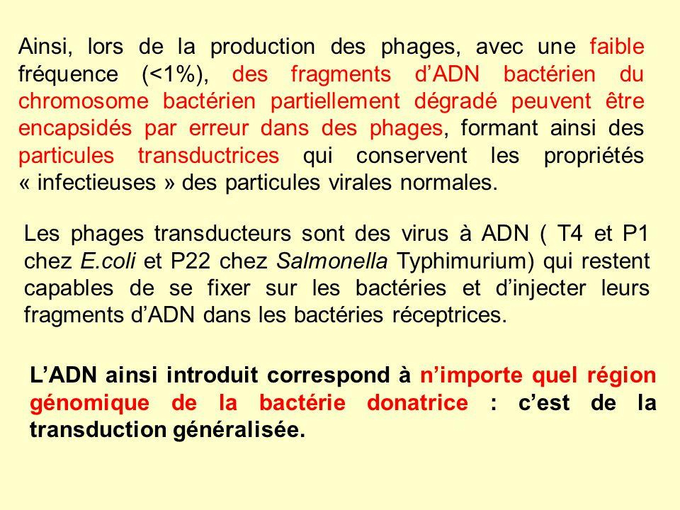 Ainsi, lors de la production des phages, avec une faible fréquence (<1%), des fragments dADN bactérien du chromosome bactérien partiellement dégradé p
