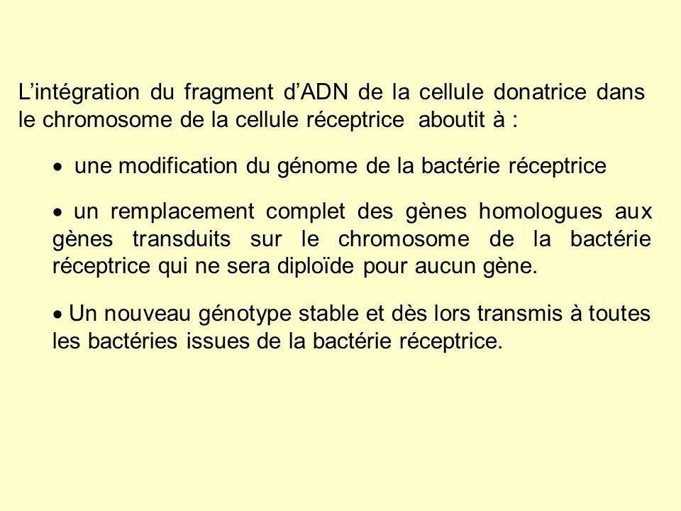 Lintégration du fragment dADN de la cellule donatrice dans le chromosome de la cellule réceptrice aboutit à : une modification du génome de la bactéri