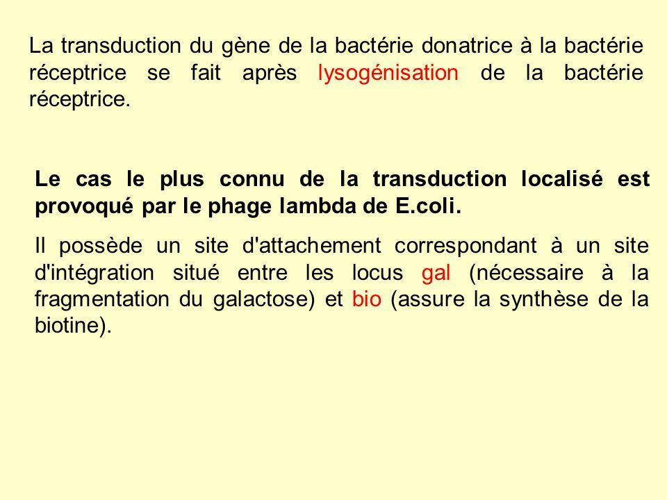 La transduction du gène de la bactérie donatrice à la bactérie réceptrice se fait après lysogénisation de la bactérie réceptrice. Le cas le plus connu