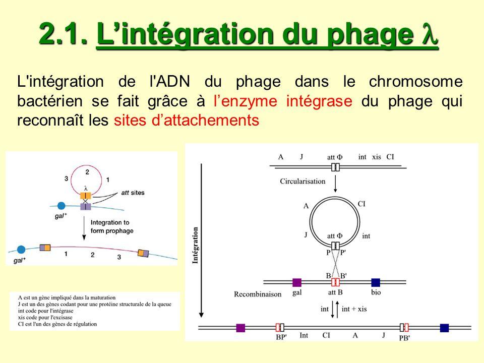 2.1. Lintégration du phage 2.1. Lintégration du phage L'intégration de l'ADN du phage dans le chromosome bactérien se fait grâce à lenzyme intégrase d