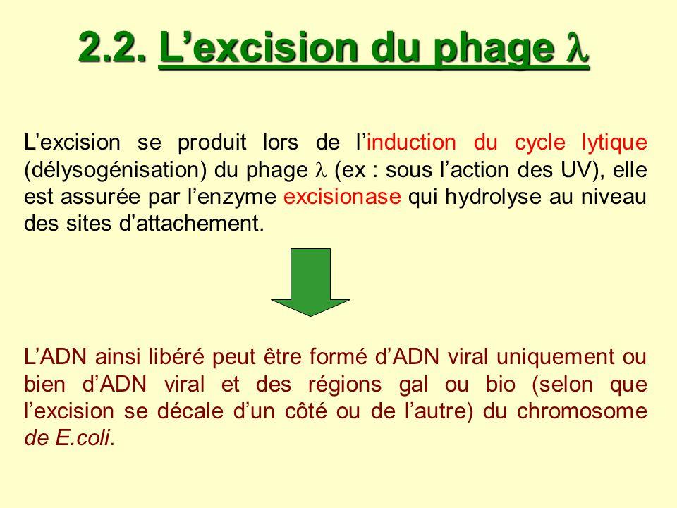 2.2. Lexcision du phage 2.2. Lexcision du phage Lexcision se produit lors de linduction du cycle lytique (délysogénisation) du phage (ex : sous lactio