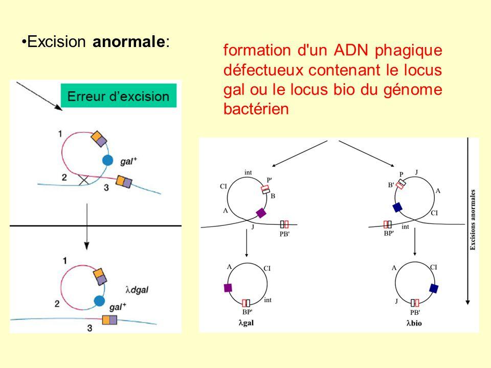 Excision anormale: formation d'un ADN phagique défectueux contenant le locus gal ou le locus bio du génome bactérien