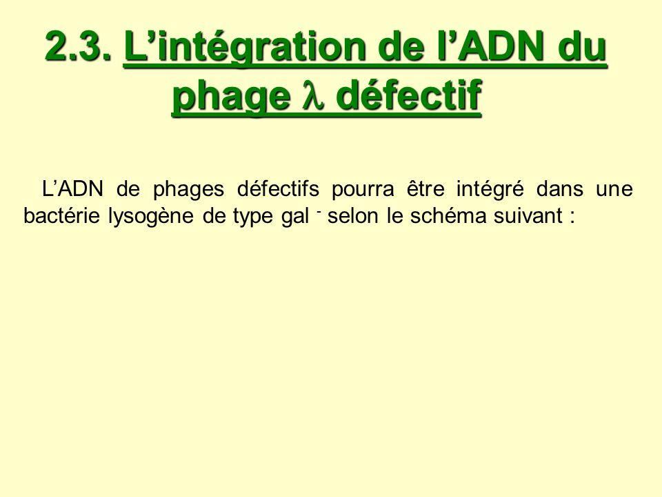 2.3. Lintégration de lADN du phage défectif LADN de phages défectifs pourra être intégré dans une bactérie lysogène de type gal - selon le schéma suiv