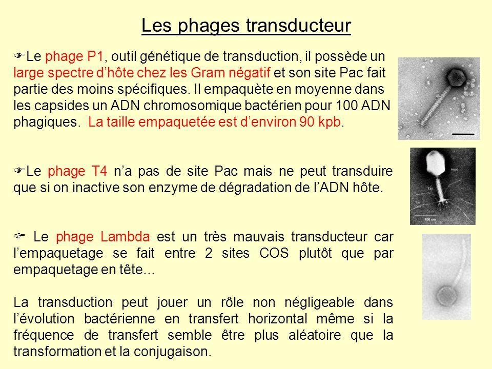 Les phages transducteur Le phage P1, outil génétique de transduction, il possède un large spectre dhôte chez les Gram négatif et son site Pac fait par