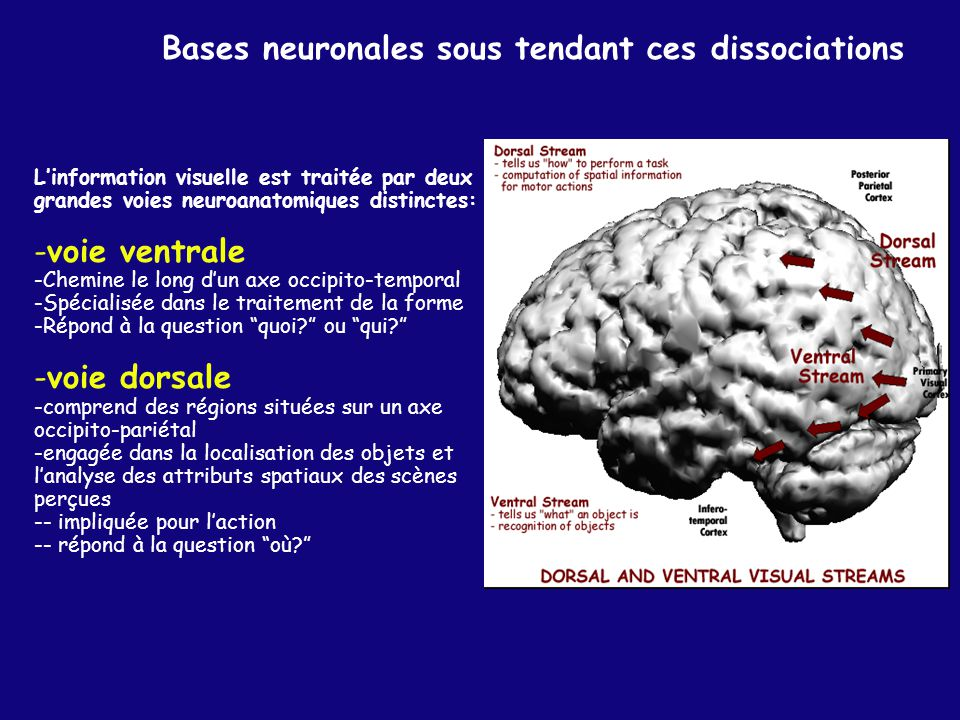 Bases neuronales sous tendant ces dissociations Linformation visuelle est traitée par deux grandes voies neuroanatomiques distinctes: -voie ventrale -Chemine le long dun axe occipito-temporal -Spécialisée dans le traitement de la forme -Répond à la question quoi.