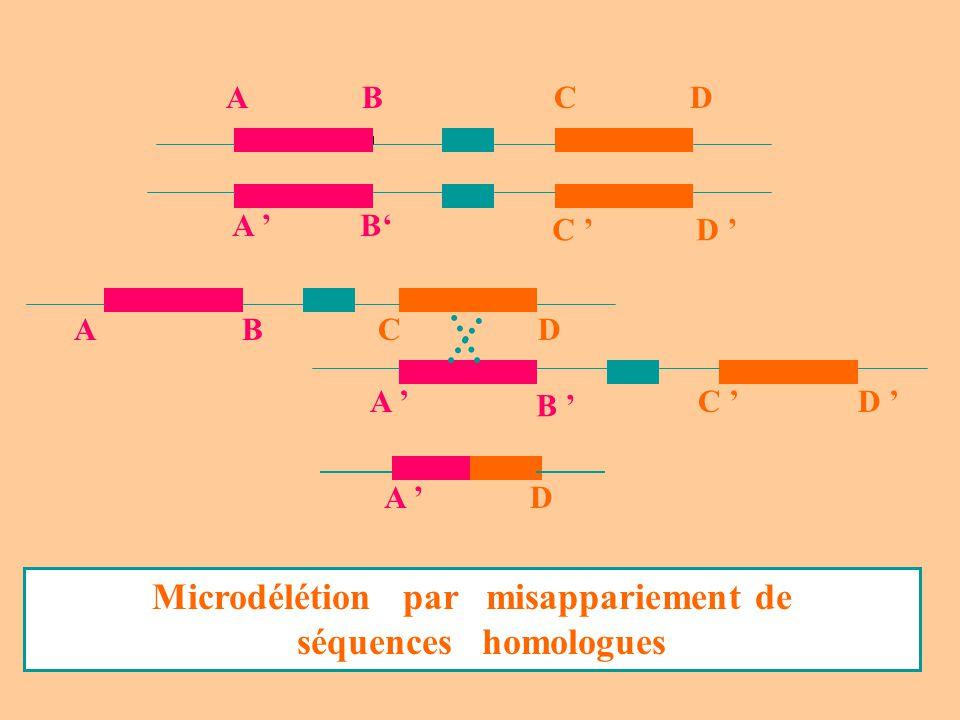 ABCD A B C D A D ABCD A B C D Microdélétion par misappariement de séquences homologues