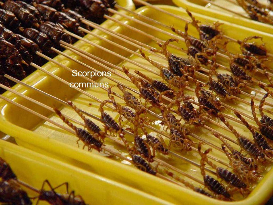 Scorpions communs.