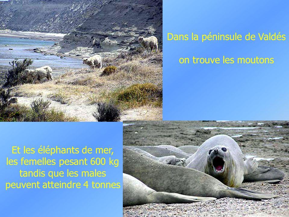 Paysage de Patagonie. et un troupeau de Guanaco, animal cousin du Lama