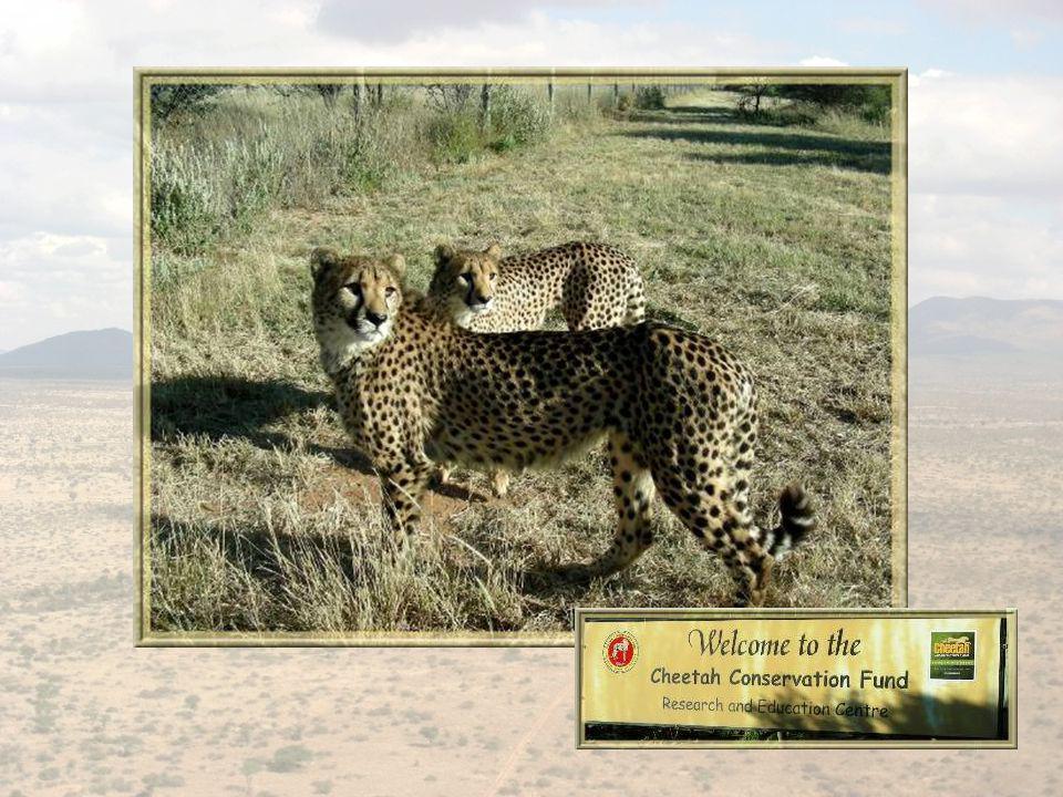 En direction du parc dEtosha, un arrêt intéressant au « Cheetah Conservation Fund »… Cet organisme doté de professionnels expérimentés, recueille les bébés guépards que lui apporte la population environnante.