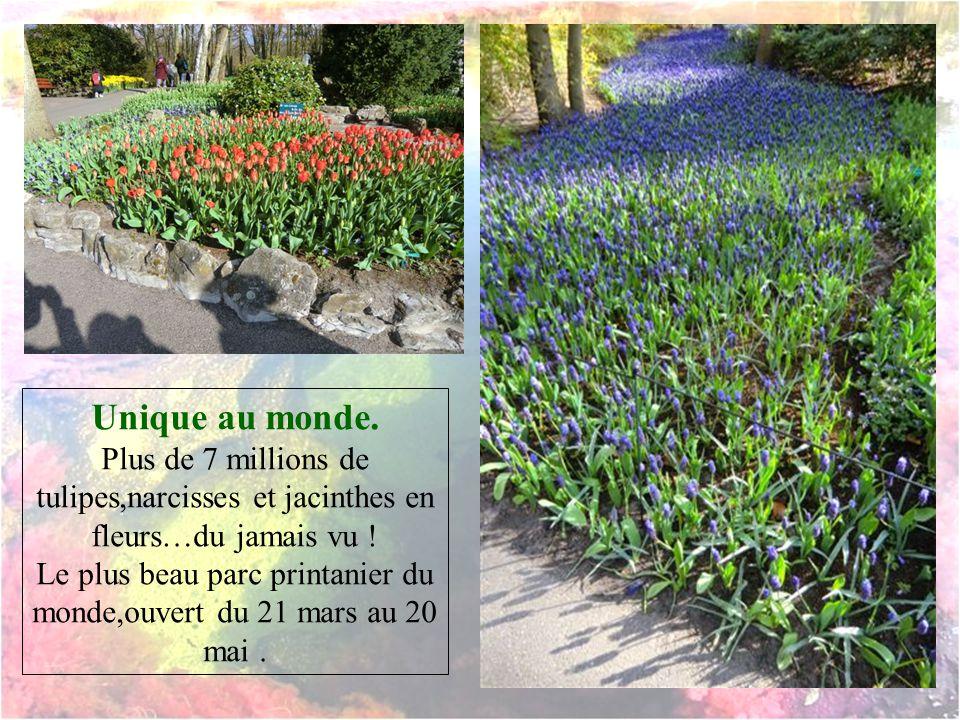 Unique au monde.Plus de 7 millions de tulipes,narcisses et jacinthes en fleurs…du jamais vu .