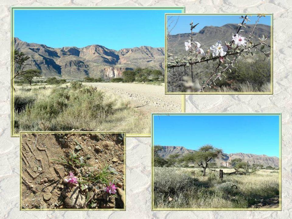A travers des zones encore semi-désertiques, nous reprenons la direction de Windhoek.