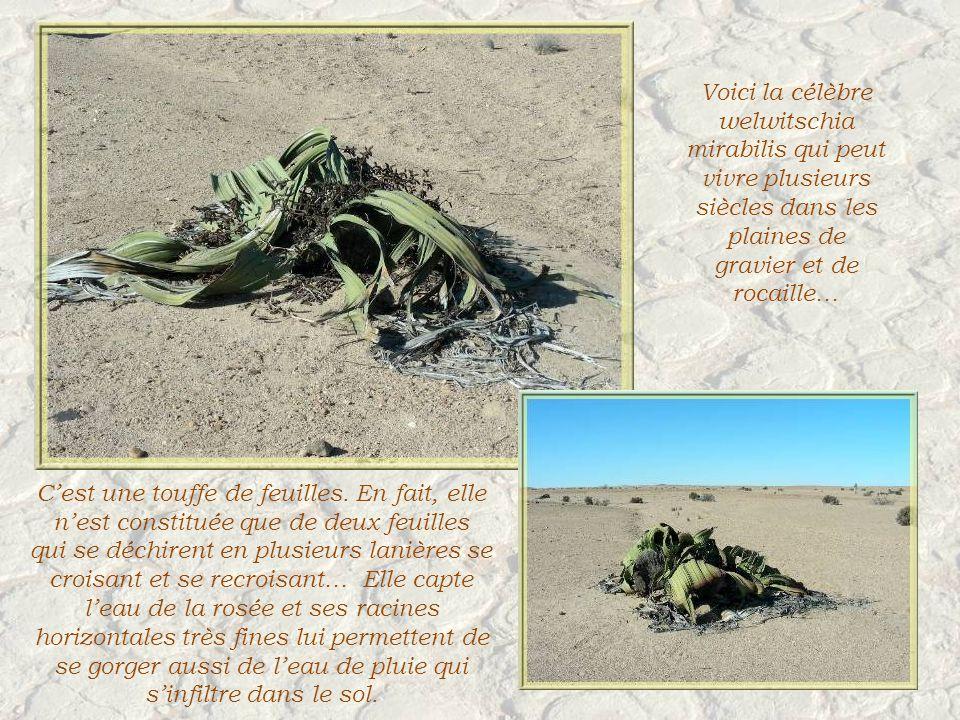 Voici la célèbre welwitschia mirabilis qui peut vivre plusieurs siècles dans les plaines de gravier et de rocaille… Cest une touffe de feuilles.