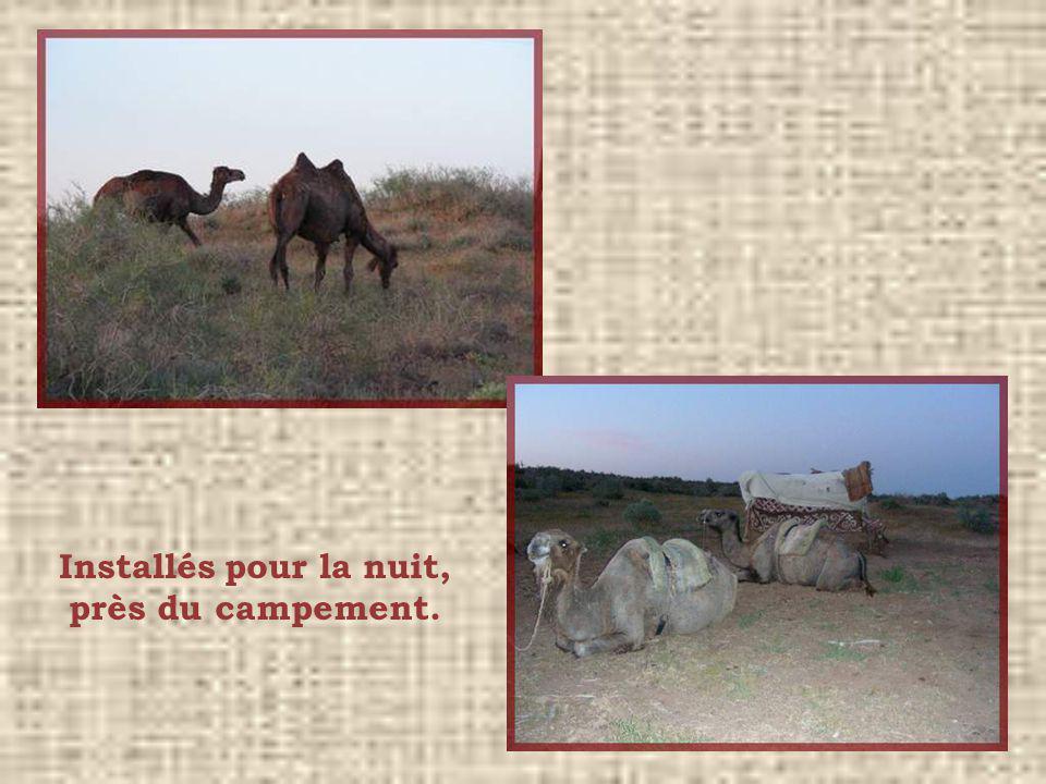 De vrais chameaux… à deux bosses!