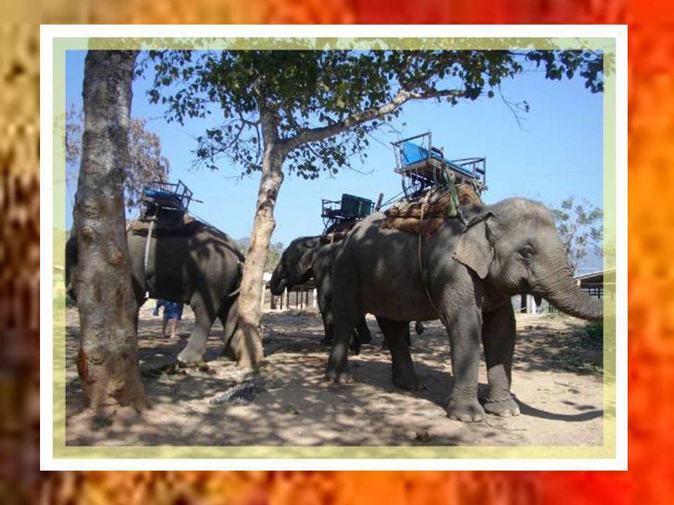 Bien sûr, comme un peu partout en Thaïlande on retrouve dans le nord les possibilités dobserver les éléphants et de faire des balades perchés sur leur dos… Notamment, le Mae Sa Elephant Camp est lune des plus grandes colonies de la région avec leurs gardiens « mahout ».