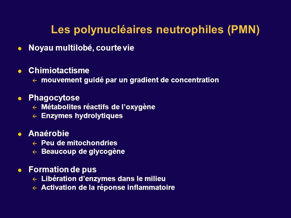 Noyau multilobé, courte vie Chimiotactisme mouvement guidé par un gradient de concentration Phagocytose Métabolites réactifs de loxygène Enzymes hydro