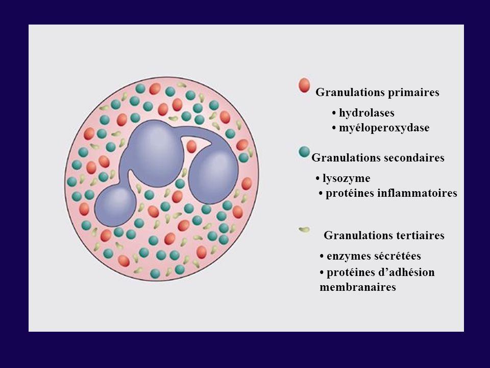 Granulations primaires hydrolases myéloperoxydase Granulations secondaires lysozyme protéines inflammatoires Granulations tertiaires enzymes sécrétées