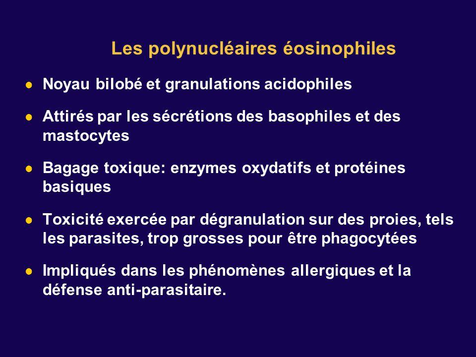 Noyau bilobé et granulations acidophiles Attirés par les sécrétions des basophiles et des mastocytes Bagage toxique: enzymes oxydatifs et protéines ba