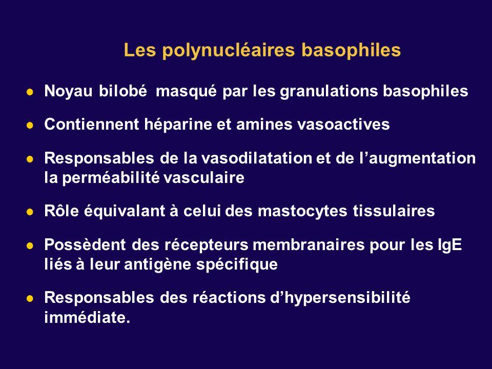 Noyau bilobé masqué par les granulations basophiles Contiennent héparine et amines vasoactives Responsables de la vasodilatation et de laugmentation la perméabilité vasculaire Rôle équivalant à celui des mastocytes tissulaires Possèdent des récepteurs membranaires pour les IgE liés à leur antigène spécifique Responsables des réactions dhypersensibilité immédiate.