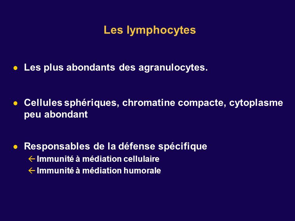 Les plus abondants des agranulocytes. Cellules sphériques, chromatine compacte, cytoplasme peu abondant Responsables de la défense spécifique Immunité