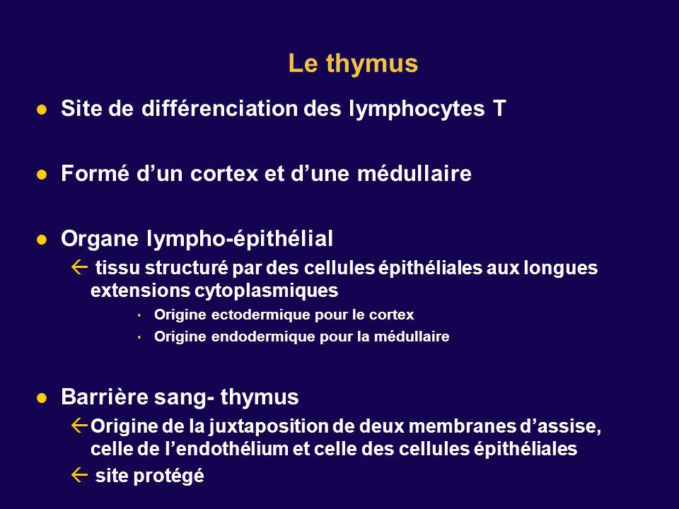 Le thymus Site de différenciation des lymphocytes T Formé dun cortex et dune médullaire Organe lympho-épithélial tissu structuré par des cellules épithéliales aux longues extensions cytoplasmiques Origine ectodermique pour le cortex Origine endodermique pour la médullaire Barrière sang- thymus Origine de la juxtaposition de deux membranes dassise, celle de lendothélium et celle des cellules épithéliales site protégé