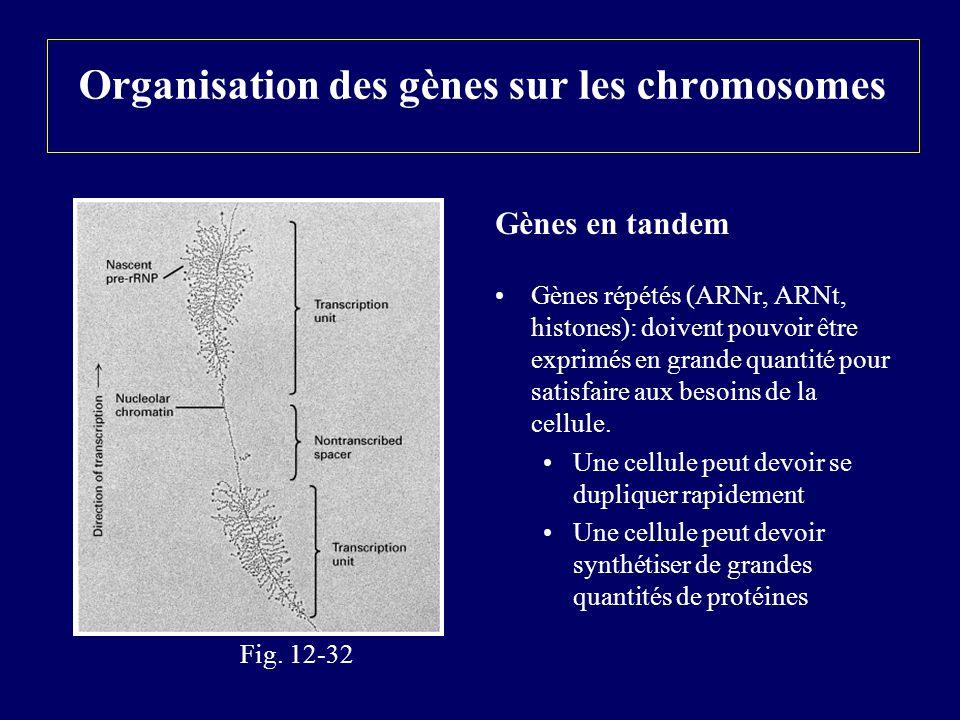 Organisation des gènes sur les chromosomes Gènes en tandem Gènes répétés (ARNr, ARNt, histones): doivent pouvoir être exprimés en grande quantité pour