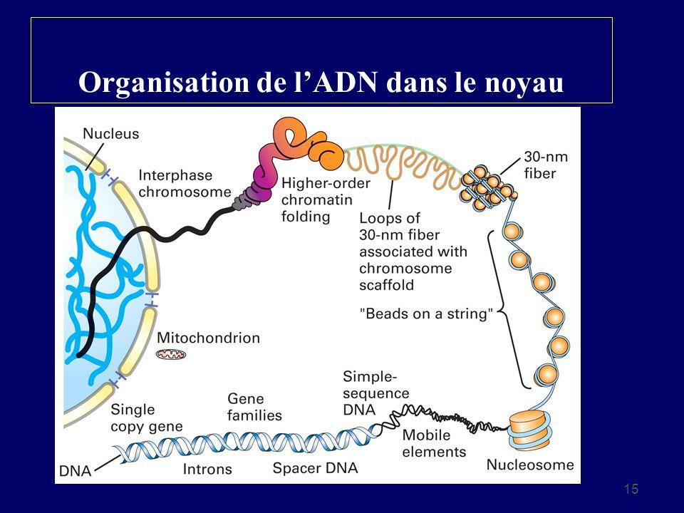 15 Organisation de lADN dans le noyau