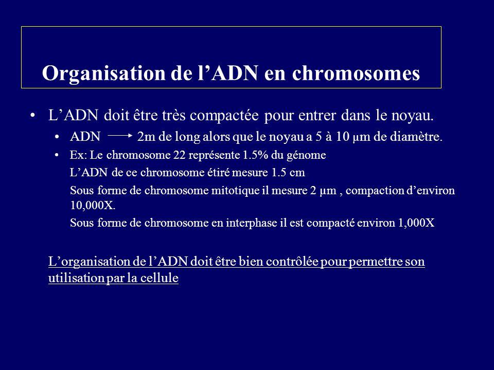 Organisation de lADN en chromosomes LADN doit être très compactée pour entrer dans le noyau. ADN 2m de long alors que le noyau a 5 à 10 µ m de diamètr