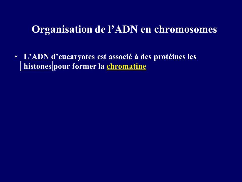 Organisation de lADN en chromosomes LADN deucaryotes est associé à des protéines les histones pour former la chromatine