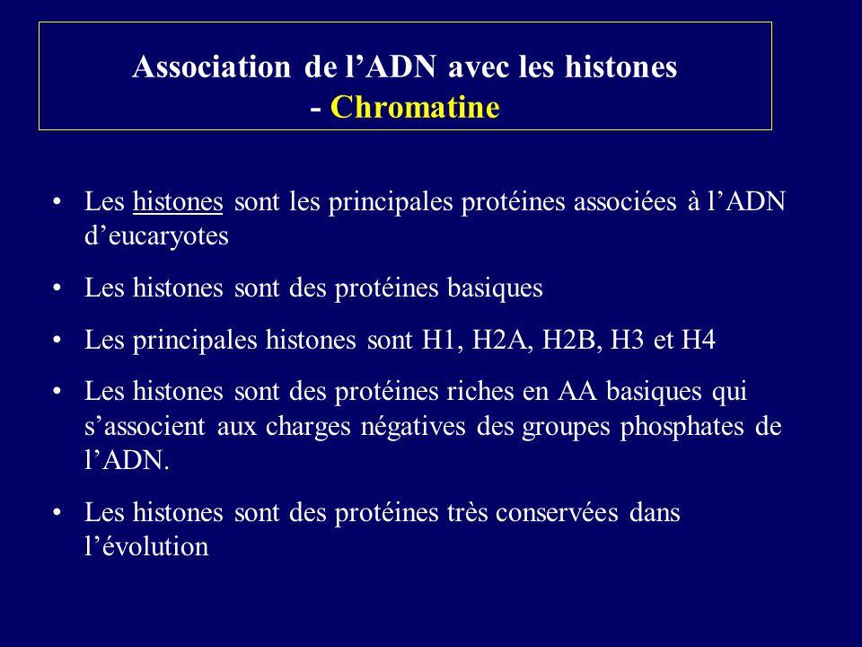 Association de lADN avec les histones - Chromatine Les histones sont les principales protéines associées à lADN deucaryotes Les histones sont des prot