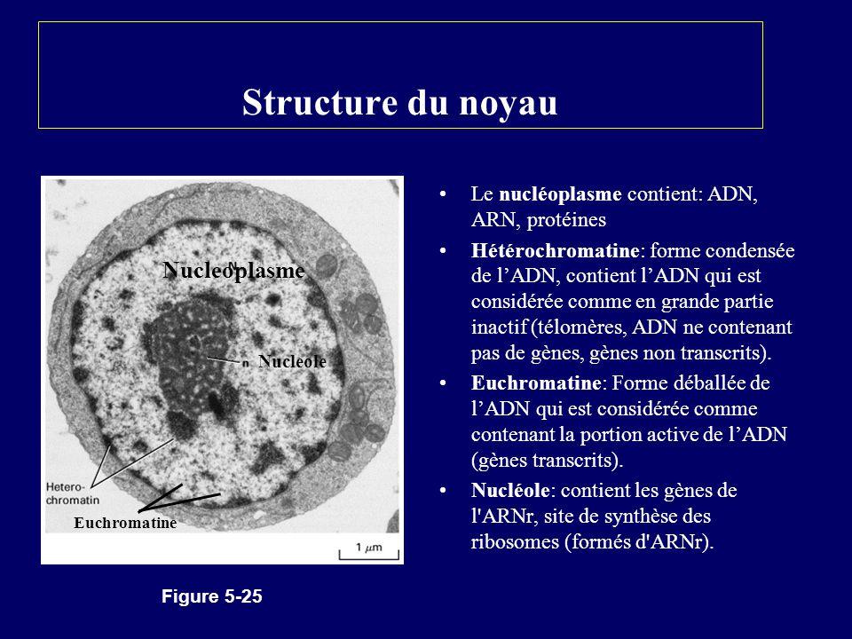 Structure du noyau Le nucléoplasme contient: ADN, ARN, protéines Hétérochromatine: forme condensée de lADN, contient lADN qui est considérée comme en