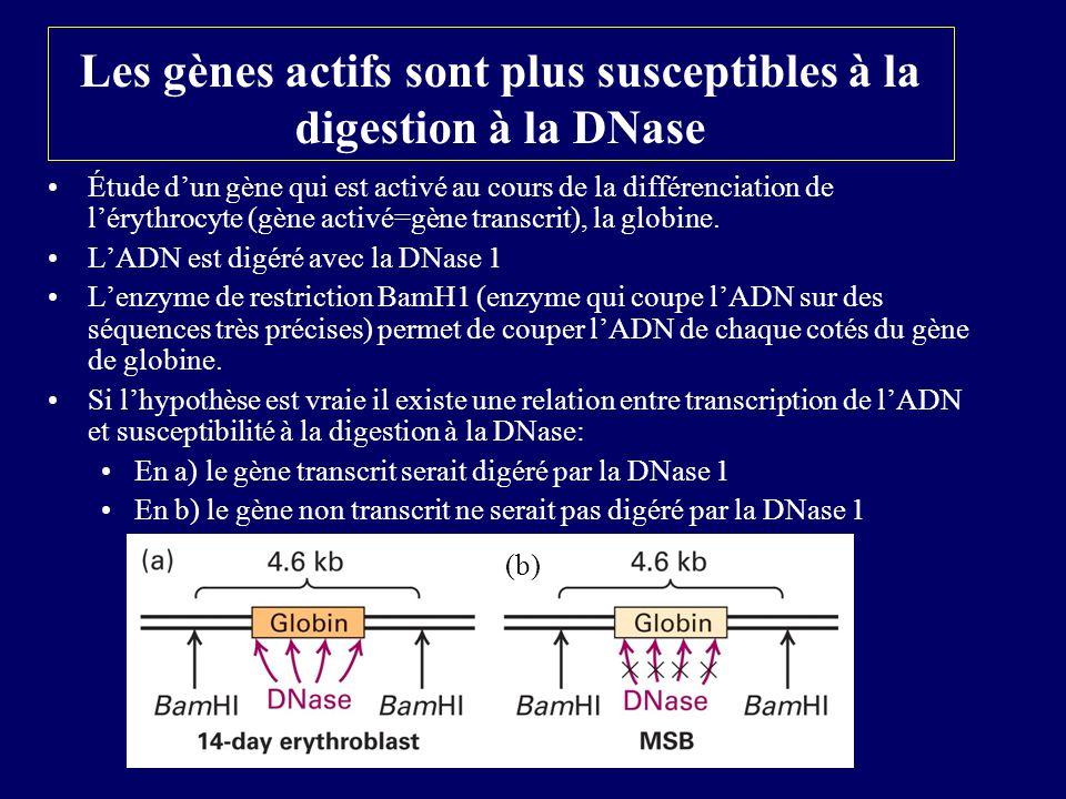 Les gènes actifs sont plus susceptibles à la digestion à la DNase Étude dun gène qui est activé au cours de la différenciation de lérythrocyte (gène a