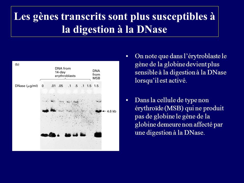 Les gènes transcrits sont plus susceptibles à la digestion à la DNase On note que dans lérytroblaste le gène de la globine devient plus sensible à la