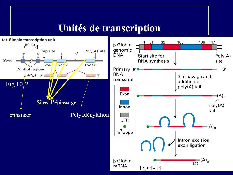 Forme condensée et décondensée de la chromatine Forme condensée: La chromatine non transcrite serait principalement sous forme condensée (30nm) La chromatine transcrite serait sous forme étirée chapelet de billes.