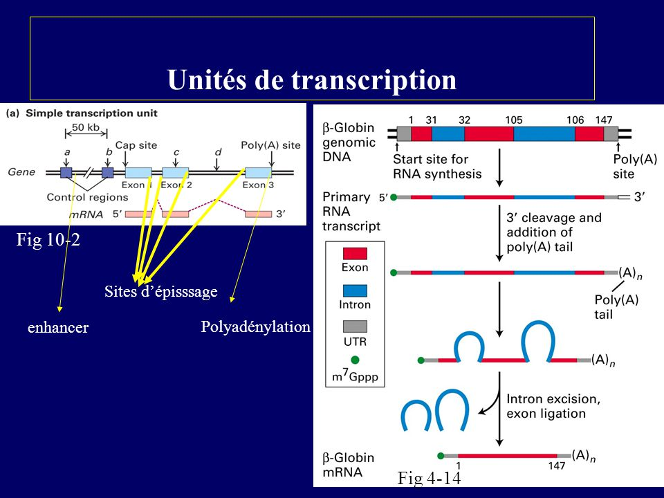 5 Unités de transcription Fig 10-2 Fig 4-14 enhancer Polyadénylation Sites dépisssage