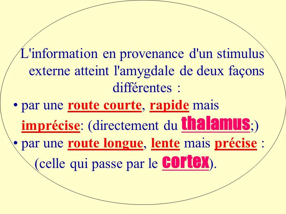L information en provenance d un stimulus externe atteint l amygdale de deux façons différentes : par une route courte, rapide mais imprécise: (directement du thalamus ;) par une route longue, lente mais précise : (celle qui passe par le cortex ).