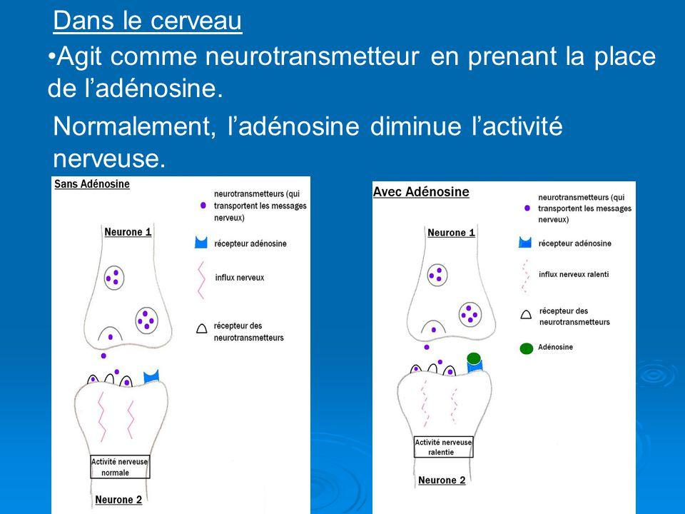 Agit comme neurotransmetteur en prenant la place de ladénosine. Normalement, ladénosine diminue lactivité nerveuse. Dans le cerveau