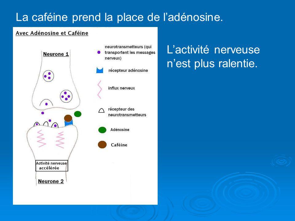 La caféine prend la place de ladénosine. Lactivité nerveuse nest plus ralentie.
