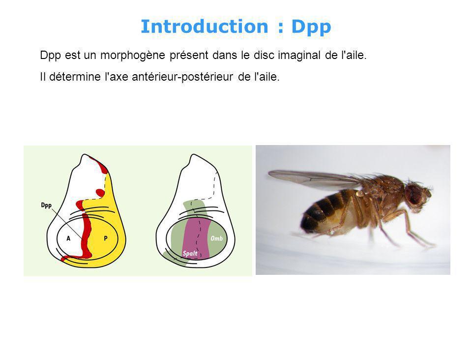 Introduction : Dpp Dpp est un morphogène présent dans le disc imaginal de l aile.