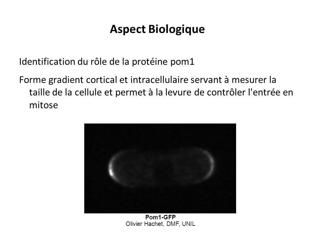 Aspect Biologique Identification du rôle de la protéine pom1 Forme gradient cortical et intracellulaire servant à mesurer la taille de la cellule et p