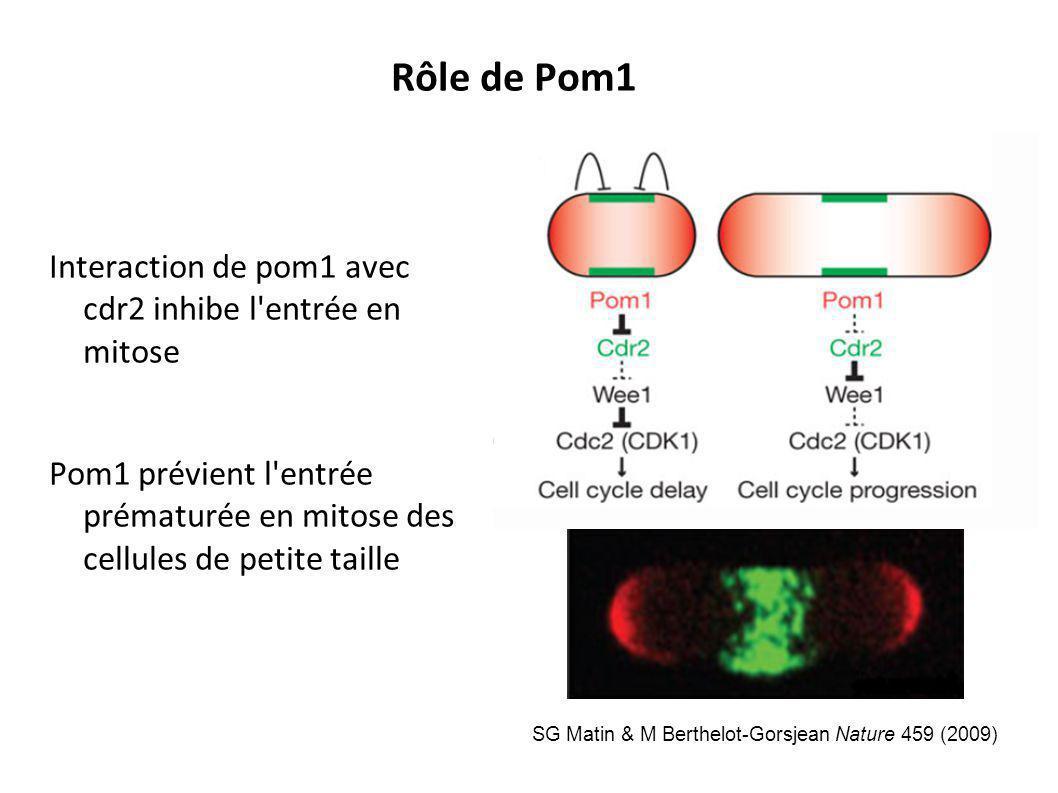 Interaction de pom1 avec cdr2 inhibe l'entrée en mitose Pom1 prévient l'entrée prématurée en mitose des cellules de petite taille Rôle de Pom1 SG Mati