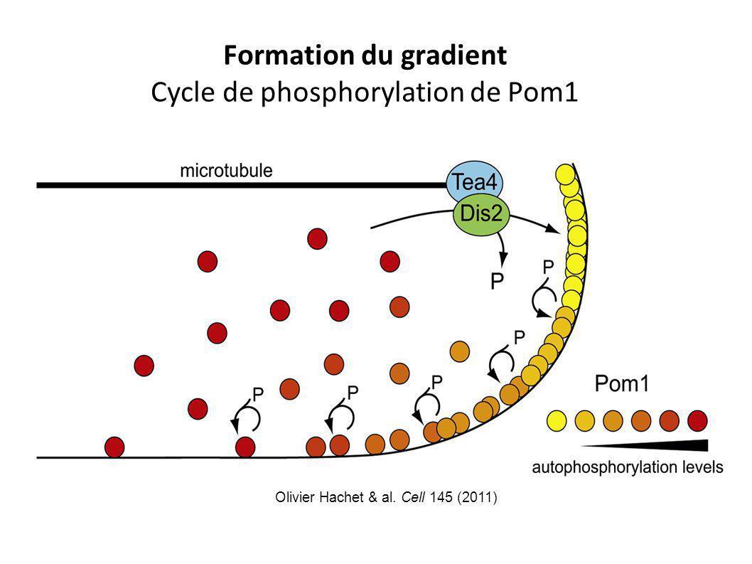 Formation du gradient Cycle de phosphorylation de Pom1 Olivier Hachet & al. Cell 145 (2011)