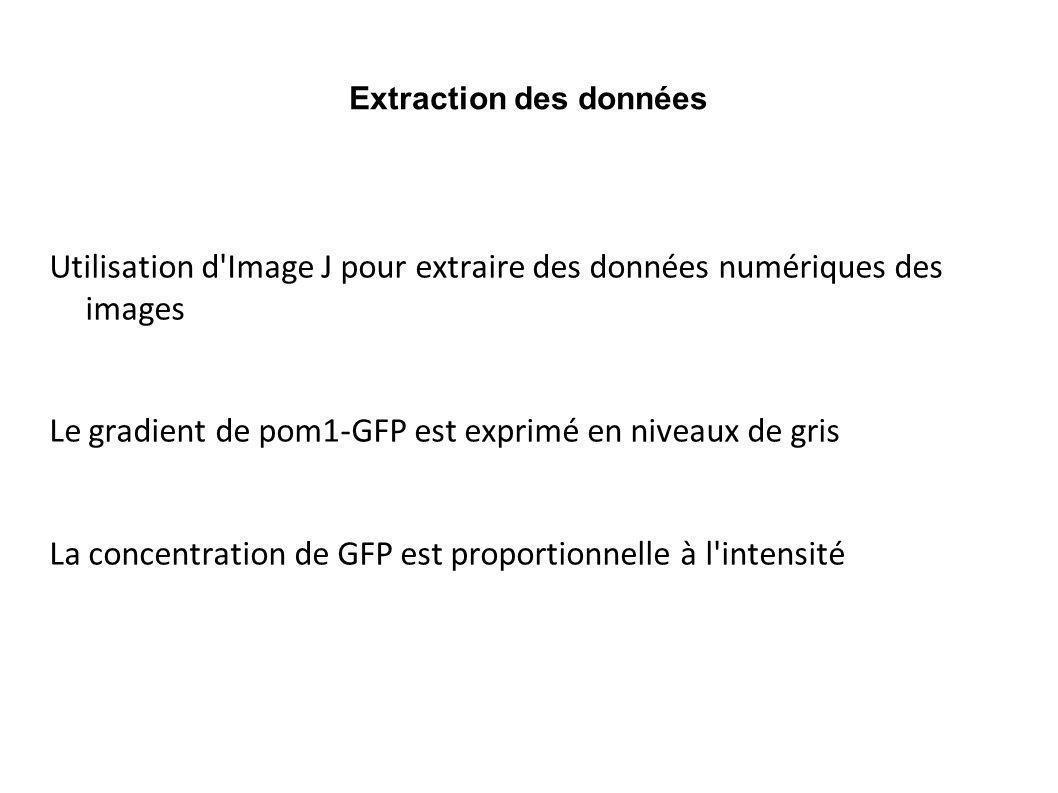 Extraction des données Utilisation d'Image J pour extraire des données numériques des images Le gradient de pom1-GFP est exprimé en niveaux de gris La