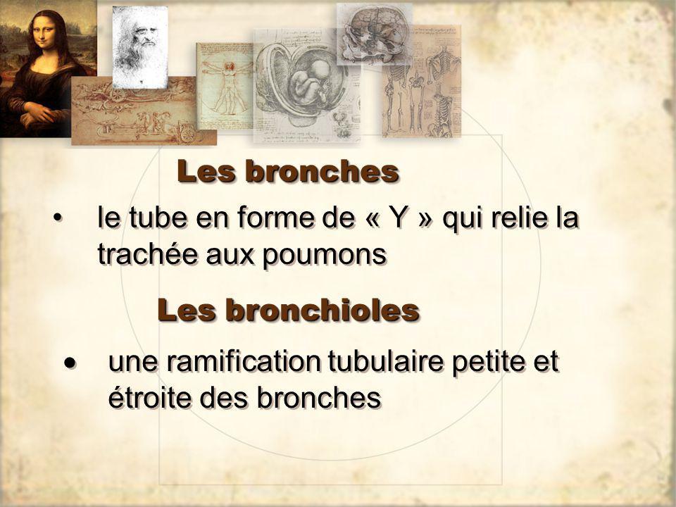 Les bronches le tube en forme de « Y » qui relie la trachée aux poumons Les bronchioles une ramification tubulaire petite et étroite des bronches