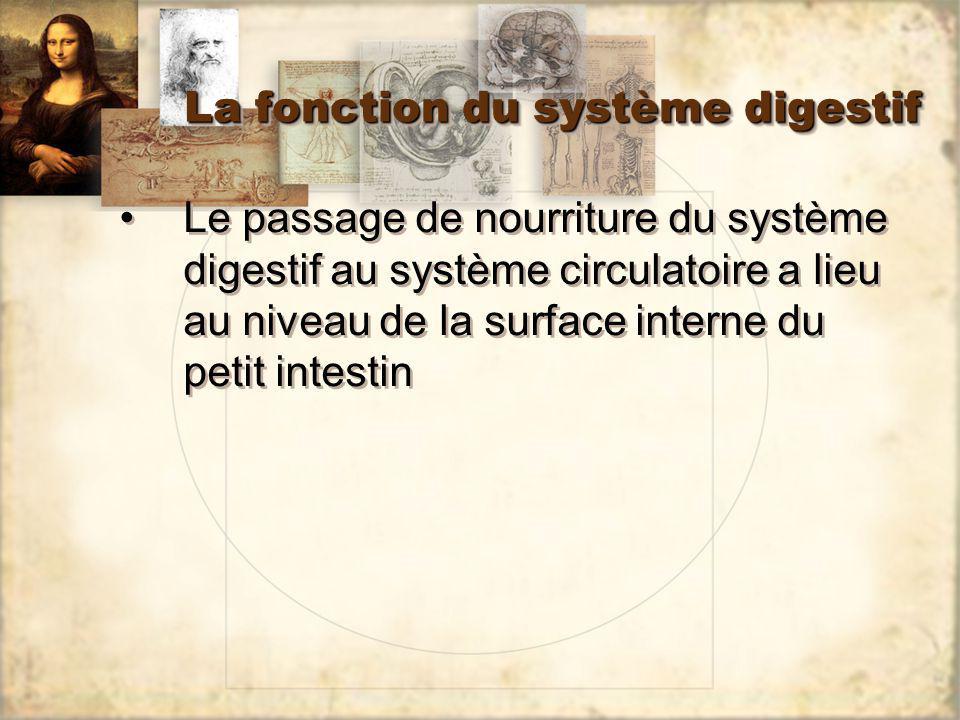 La fonction du système digestif Le passage de nourriture du système digestif au système circulatoire a lieu au niveau de la surface interne du petit i