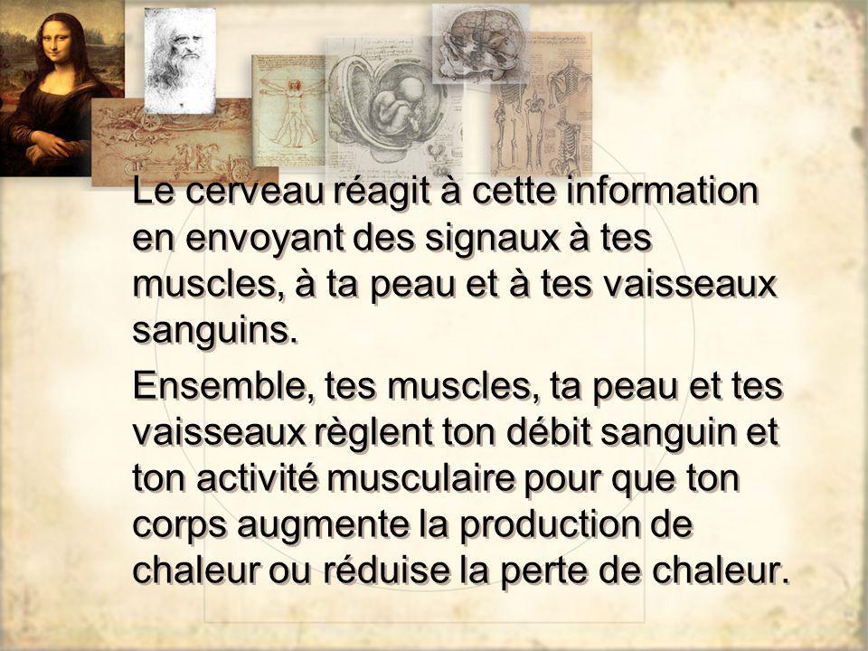 Le cerveau réagit à cette information en envoyant des signaux à tes muscles, à ta peau et à tes vaisseaux sanguins. Ensemble, tes muscles, ta peau et