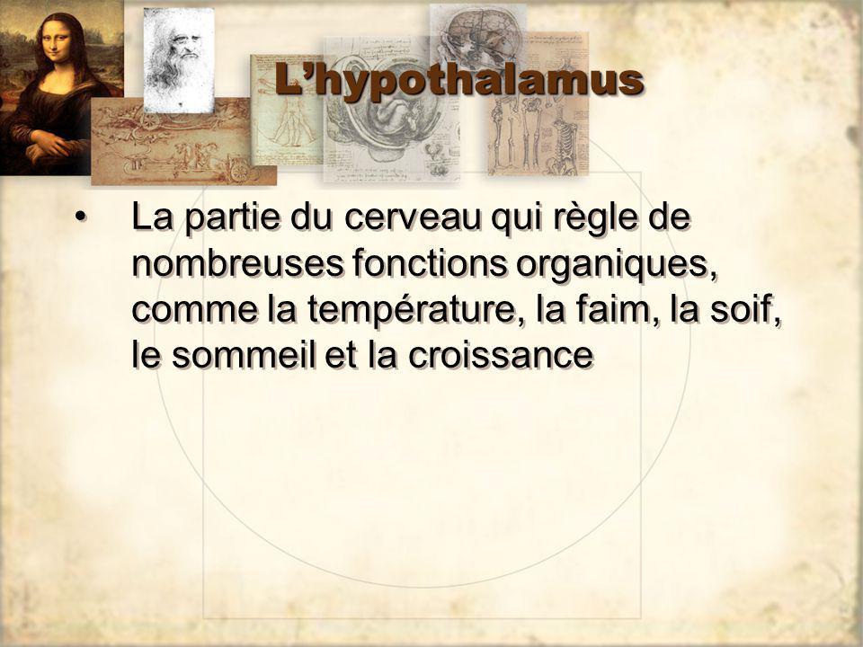 LhypothalamusLhypothalamus La partie du cerveau qui règle de nombreuses fonctions organiques, comme la température, la faim, la soif, le sommeil et la